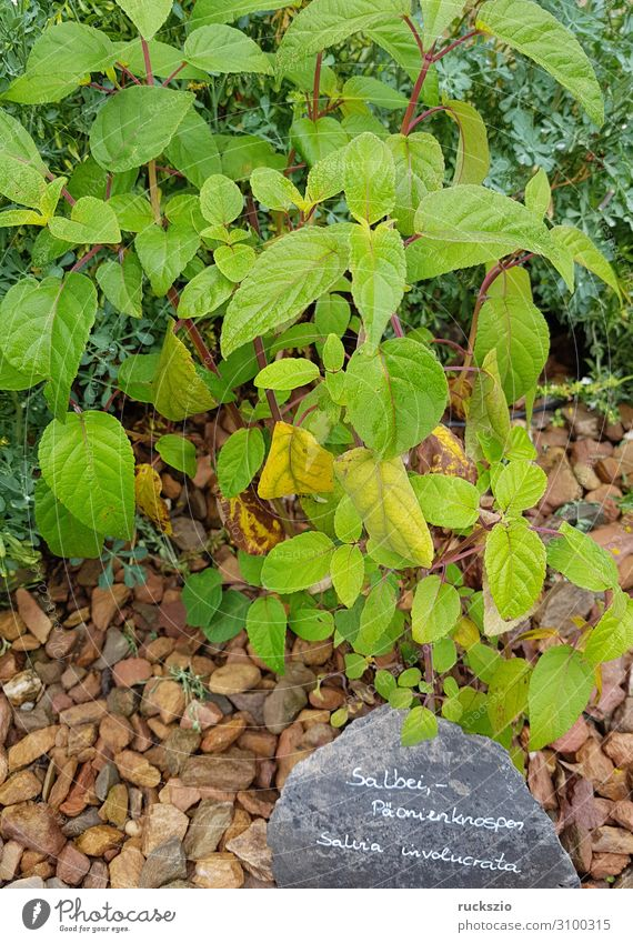Sage, peony buds, salvia involucrata Herbs and spices Green paeonia buds Medicinal plant kitchen spice aromatic herb herbaceous plant Tea plants aromatic plant