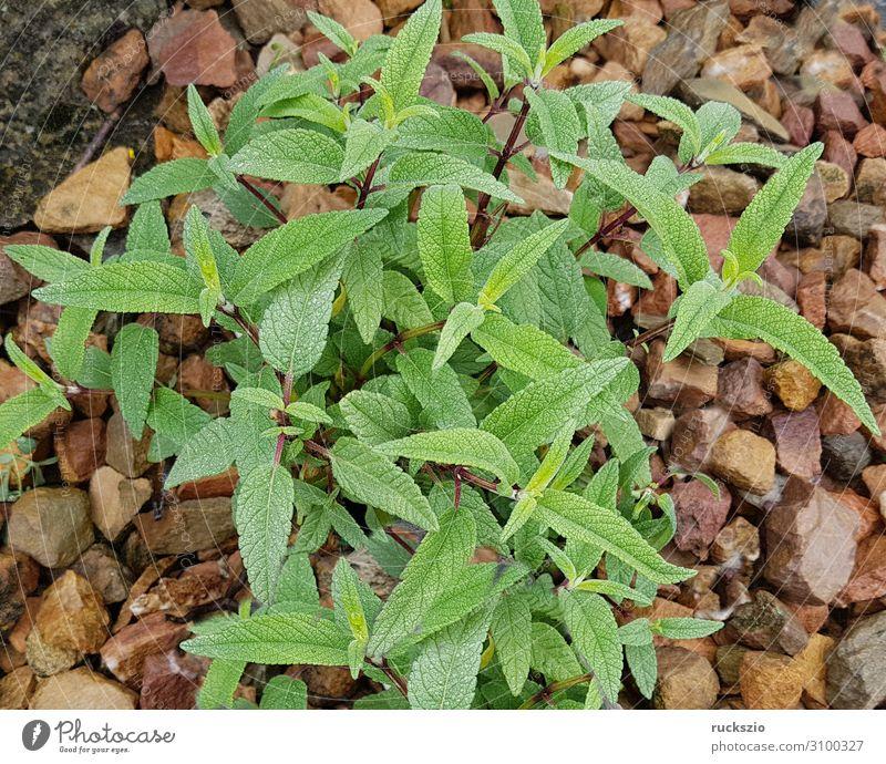 Sage, velvet, salvia leucanhe, Herbs and spices Green Velvet Medicinal plant kitchen spice aromatic herb herbaceous plant Tea plants aromatic plant say