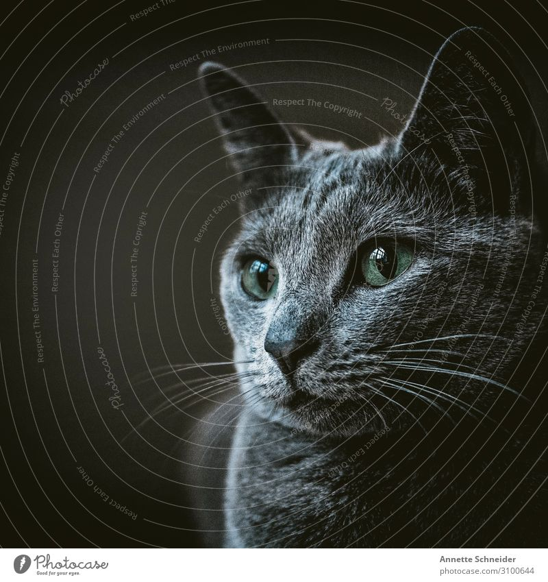 cat Animal Pet Cat 1 Gray Green Colour photo Subdued colour Isolated Image Neutral Background Animal portrait Forward