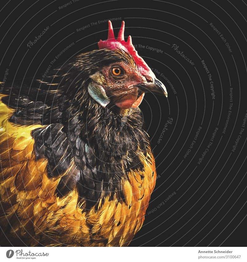 chicken Animal Pet Farm animal Barn fowl 1 Brown Multicoloured Yellow Red Colour photo Isolated Image Neutral Background Animal portrait Forward