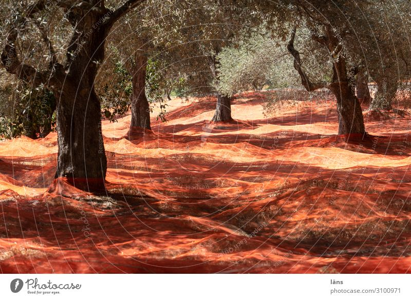 Olive tree l Harvest time Workplace Agriculture Forestry Environment Nature Landscape Hill Catch Hope Expectation Food Net Red Colour photo Exterior shot