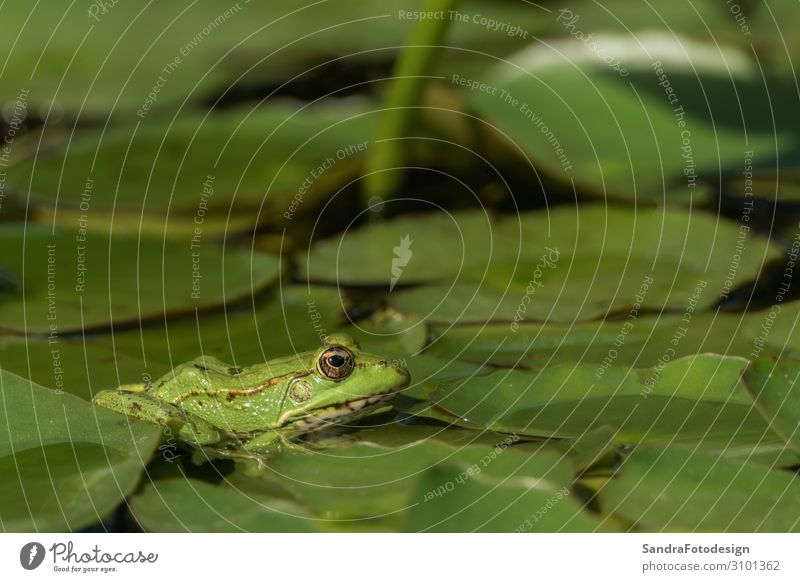 A green frog sitting in the pond full of water lilies Swimming pool Summer Nature Animal Foliage plant Frog 1 Observe Discover Jump Green amphibian lake