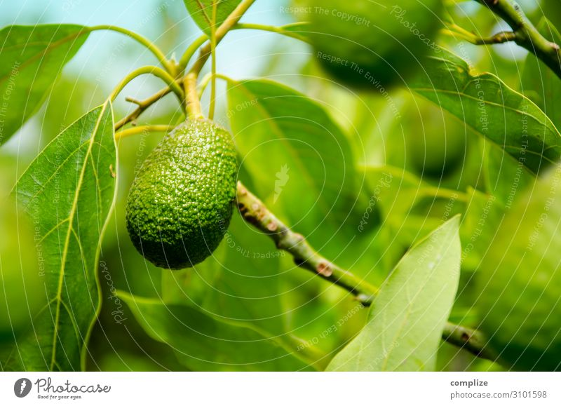 Mature avocado on the tree Food Vegetable Fruit Nutrition Eating Organic produce Vegetarian diet Diet Italian Food Asian Food Healthy Eating Plant Tree
