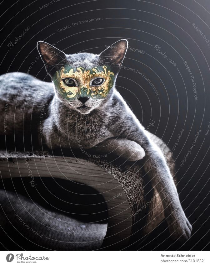 masquerade Pet Cat 1 Animal Carneval masque Gold Green Silver Colour photo Interior shot Isolated Image Neutral Background Looking into the camera