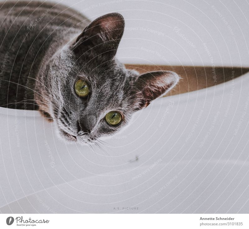 Cat Russian Blue Animal Pet 1 Gray Green White Colour photo Isolated Image Neutral Background Animal portrait
