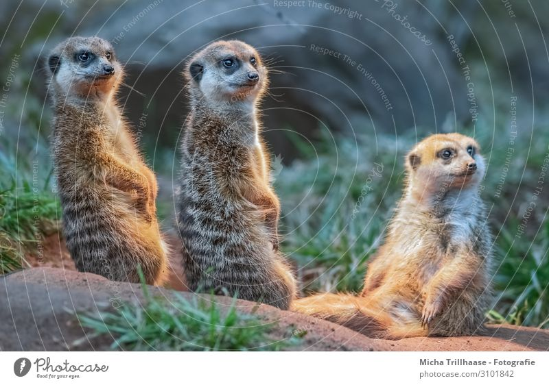 Attentive meerkats Nature Animal Sunlight Beautiful weather Grass Wild animal Animal face Pelt Paw Meerkat Mongoose Head Eyes faces Legs 3 Group of animals