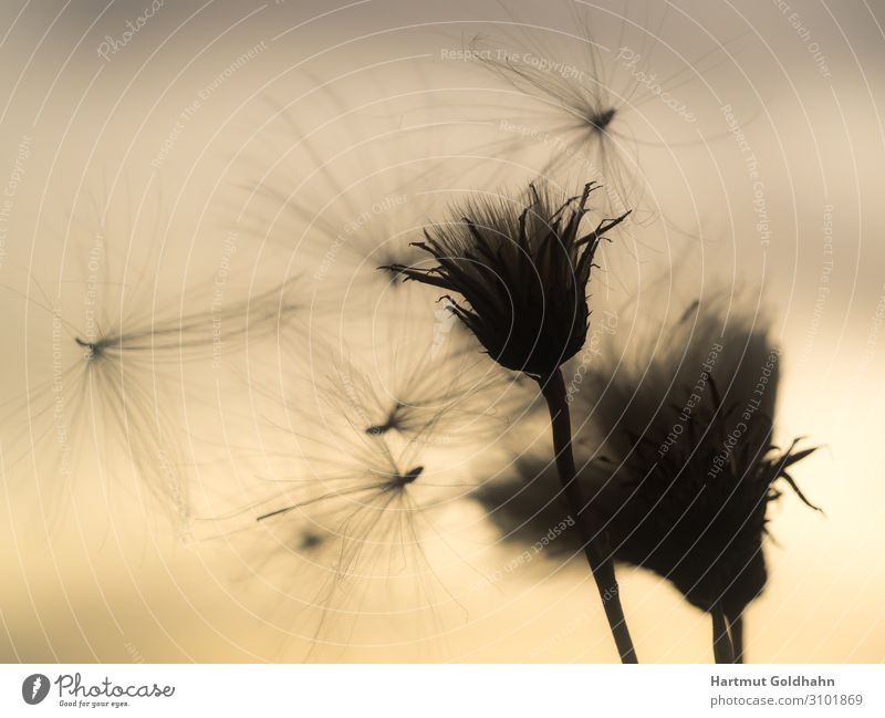 Flying seed of a thistle in backlight. Summer Nature Plant Sky Sunrise Sunset Sunlight Wind Flower Blossom Wild plant Thistle Meadow Natural Moody Idyll Seasons