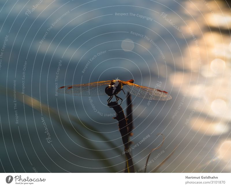 A dragonfly photographed at sunset. Calm Sun Nature Plant Animal Pond Wild animal Wing 1 Sit Moody Grand piano Body of water Insect Dragonfly Beam of light