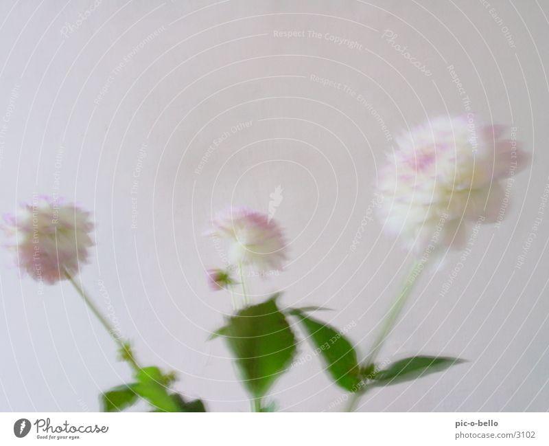 flower in white Flower Still Life Dahlia Plant Blossom White Blur Bright