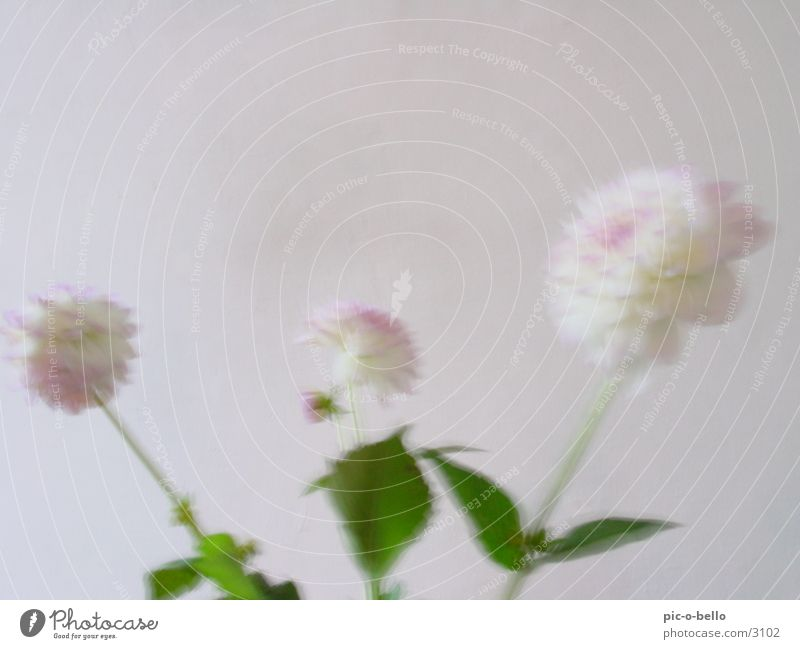 White Flower Plant Blossom Bright Still Life Dahlia