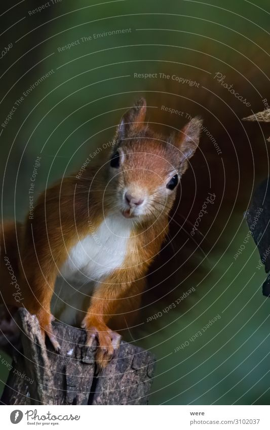 European brown squirrel in summer coat on a branch in the forest Nature Wild animal Squirrel 1 Animal Soft Brown branches copy space cuddly cuddly soft cute