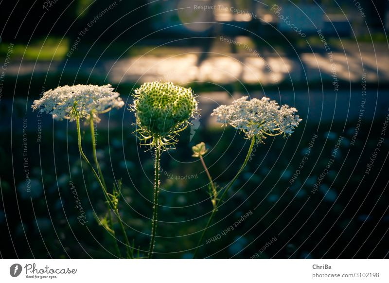 Wild carrot against the light Nature Plant Sunlight Summer Beautiful weather Blossom Wild plant Meadow Happy Green Black White Emotions Happiness