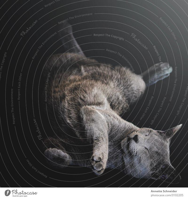 Sleeping cat Animal Pet Cat 1 Gray Colour photo Multicoloured Interior shot Isolated Image Animal portrait