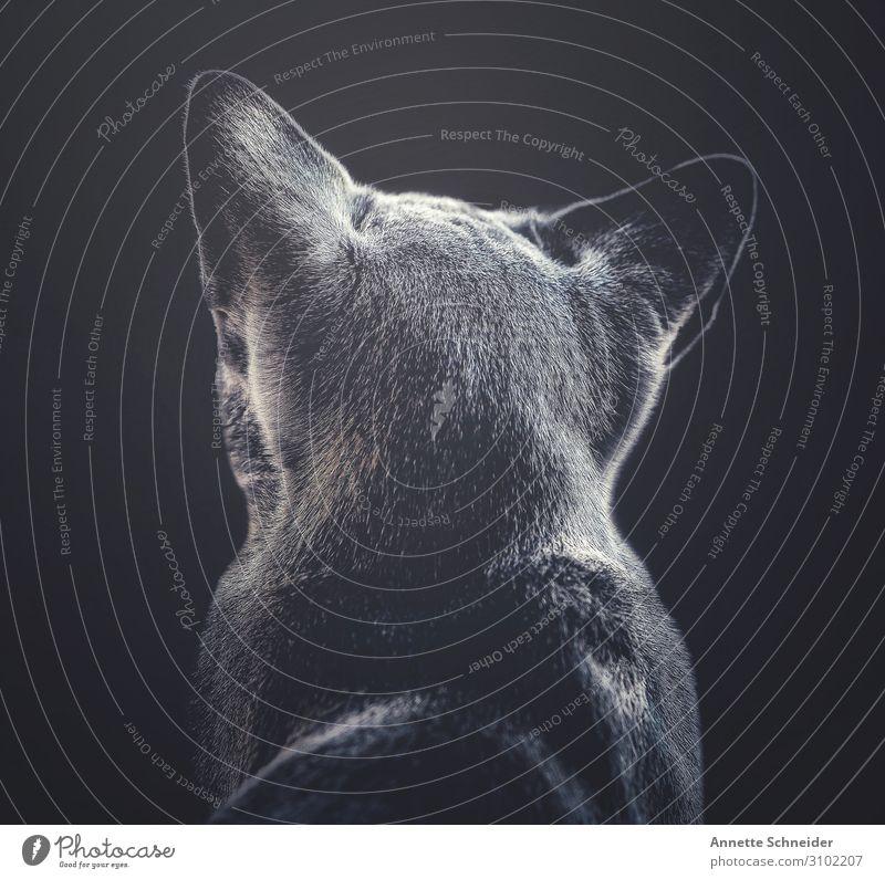 Cat Animal Gray Pet Pelt