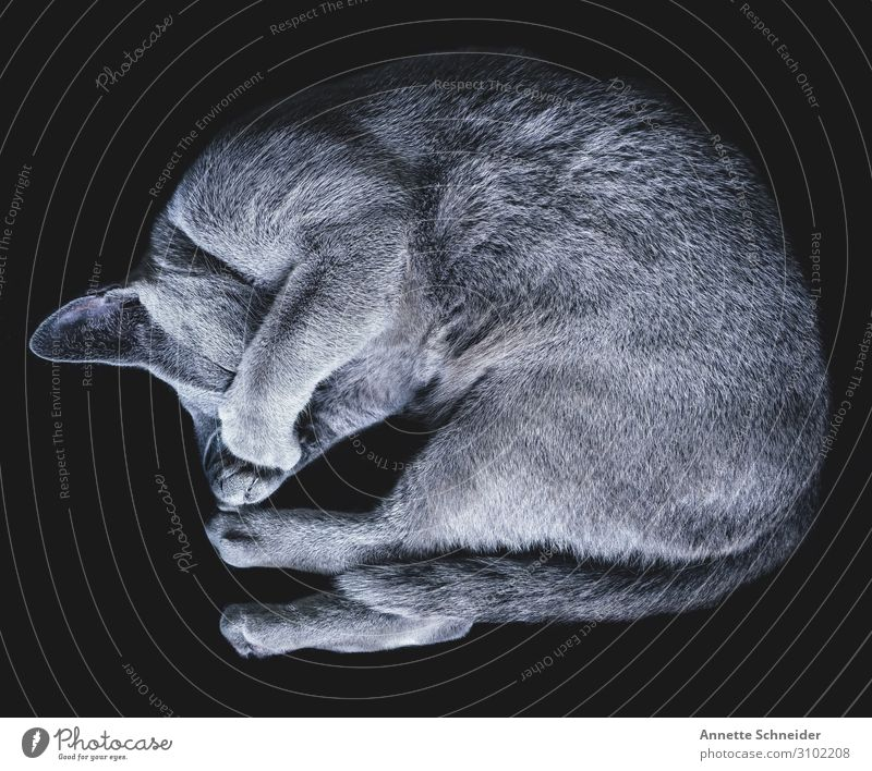 Follow your dreams Animal Pet Cat Gray Black Idyll Colour photo Subdued colour Isolated Image Neutral Background Looking away