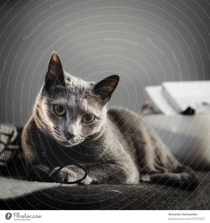 cat Living or residing Flat (apartment) Animal Pet Cat Animal face Pelt Gray Colour photo Subdued colour Neutral Background Animal portrait