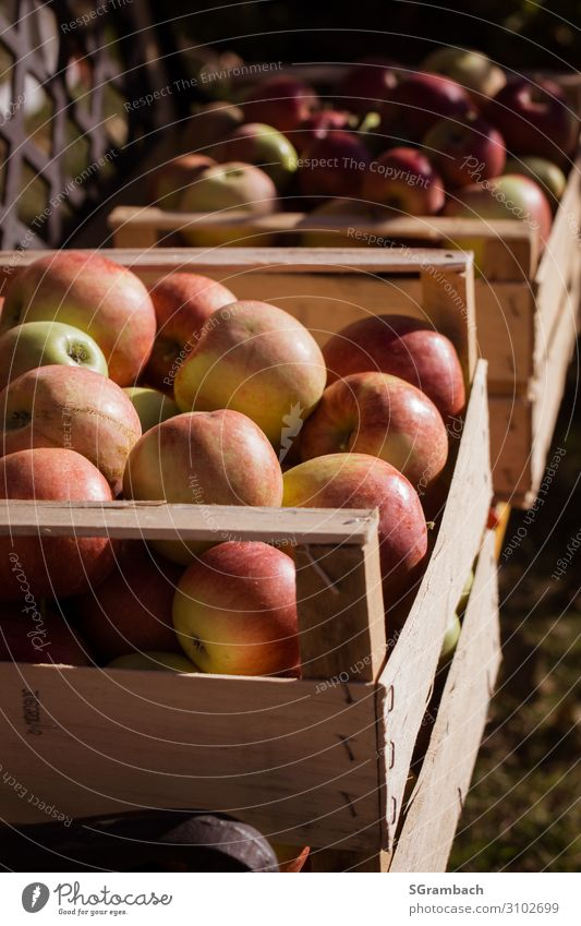apple harvest Food Fruit Apple Nutrition Picnic Organic produce Vegetarian diet Fasting Healthy Healthy Eating Life Well-being Contentment Nature Sunlight