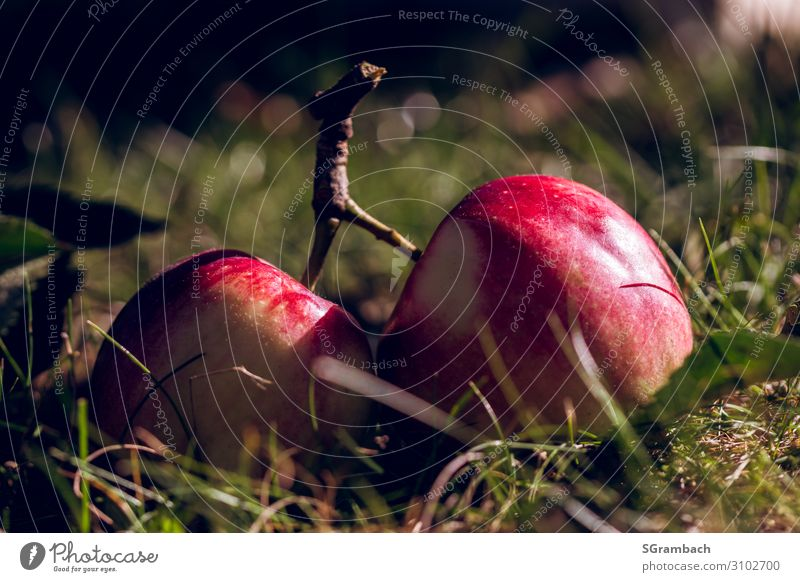 Two apples lying on a split branch in the meadow Food Fruit Apple Nutrition Picnic Organic produce Vegetarian diet Fasting Healthy Eating Well-being Contentment