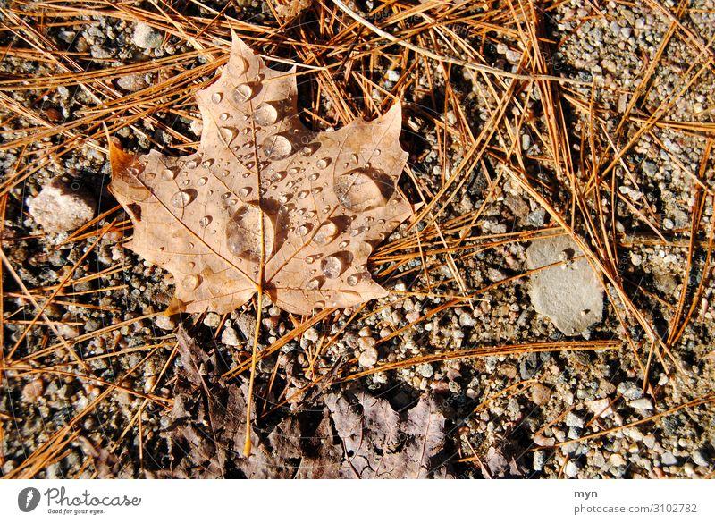 Maple leaf foliage after the rain Maple tree Leaf Autumn Canada Autumn leaves Autumnal Rain Dew Brown Nature Autumnal colours Symbols and metaphors Maple Leaf