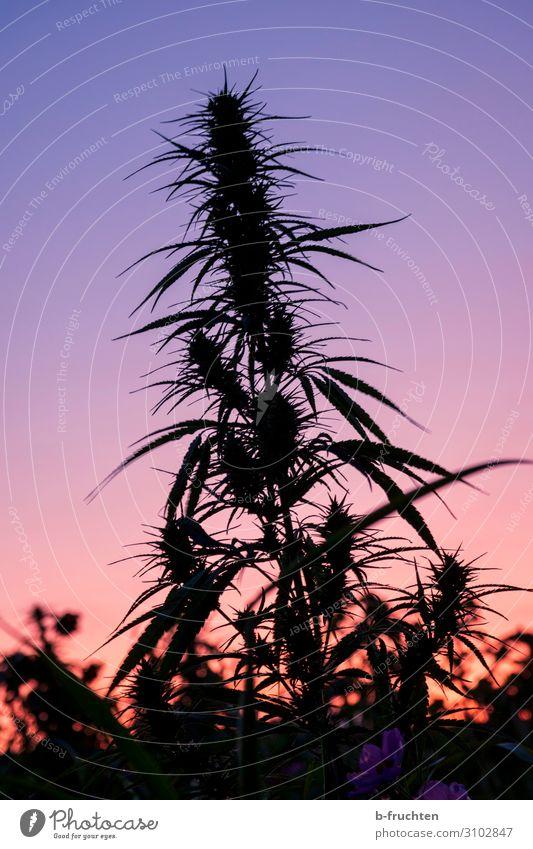 sunset Nature Sun Sunrise Sunset Autumn Plant Hemp Agricultural crop Field Select Observe Exotic Intoxicant Cannabis Cannabis leaf Evening Dusk hemp plant