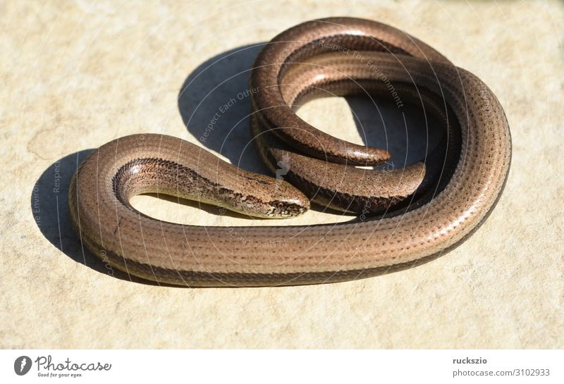 Squamat, slow-worm Animal Wild animal Lie Slow worm Saurians creep Reptiles Lacertidae scaly creepers squamate Lizard scaly crawler Colour photo Exterior shot