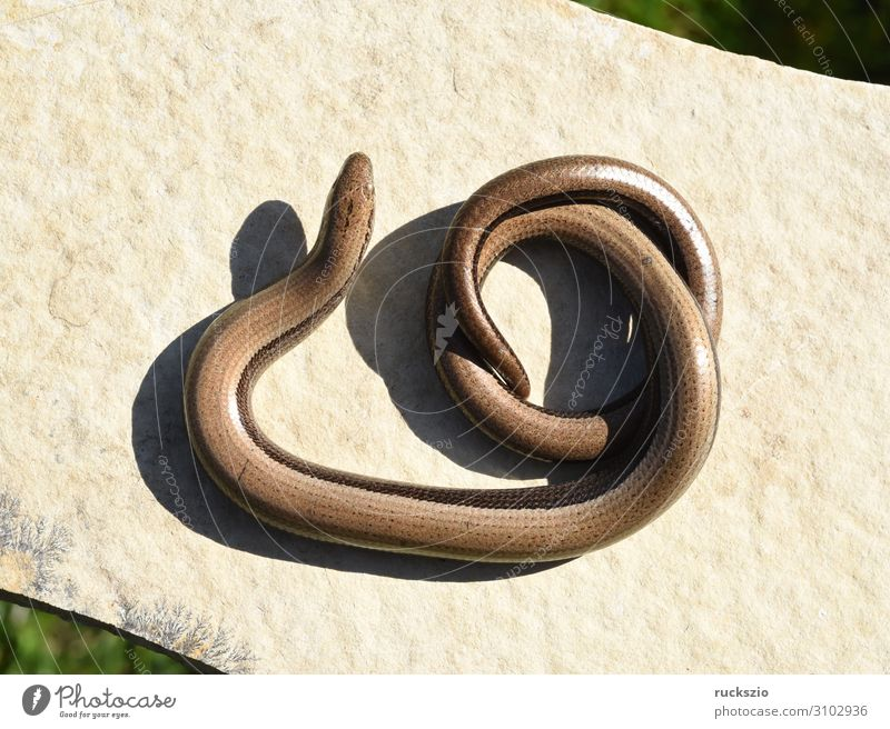 Squamat, slow-worm Animal 1 Authentic Slow worm Saurians creep Reptiles Lacertidae scaly creepers squamate Lizard scaly crawler Colour photo Exterior shot