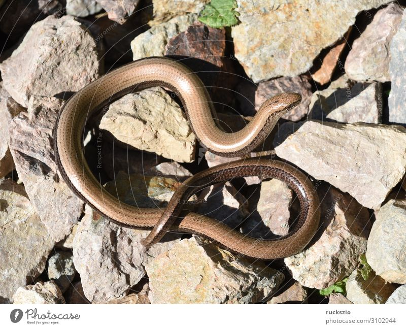 Squamat, slow-worm Animal Wild animal 1 Lie Slow worm Saurians creep Reptiles Lacertidae scaly creepers squamate Lizard scaly crawler Colour photo Exterior shot