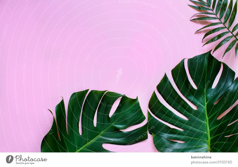 Tropical Monstera And Palm Leaves On A Light Pink Background A Royalty Free Stock Photo From Photocase Psd files, png images, clipart, graphic, clothes, photoshop background, texture, brush, gradient, shape, action, font. photocase