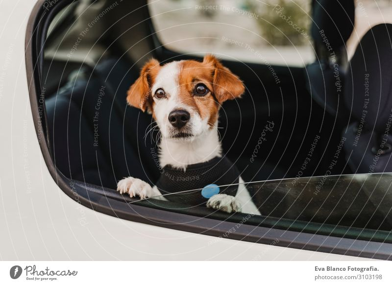 cute small jack russell dog in a car wearing a safe harness and seat belt. Ready to travel. Traveling with pets concept Funny Joy Drive Car Vacation & Travel