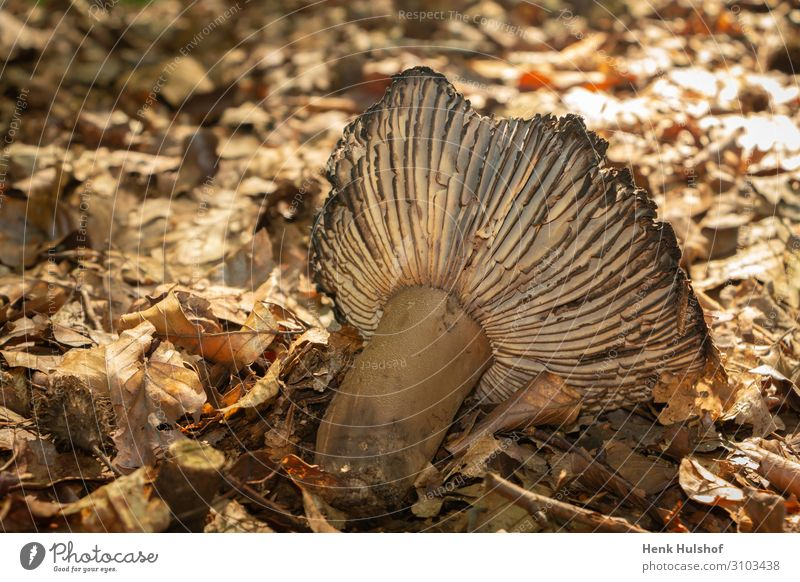 Decay of an mushroom in autumn time botanical brown cap closeup color decay dried leaf dried leaves fall flora forest fungal fungi fungus ground landscape light