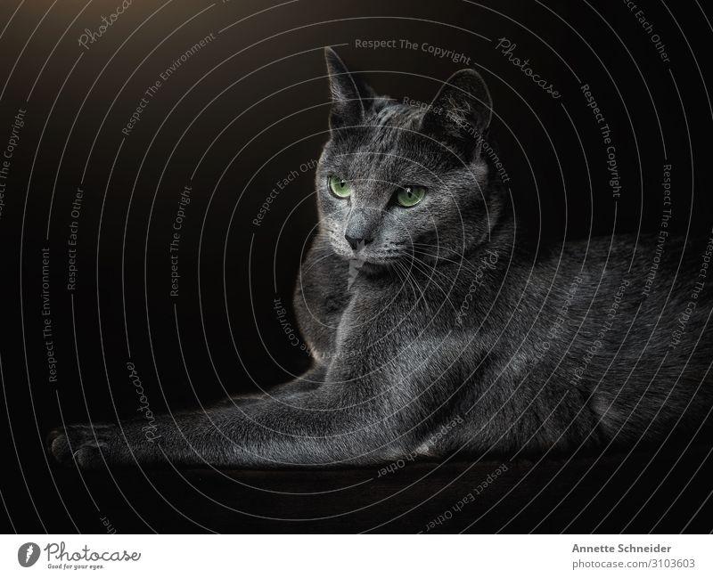 Cat Russian Blue Animal Pet 1 Green Black Colour photo Interior shot Isolated Image Forward