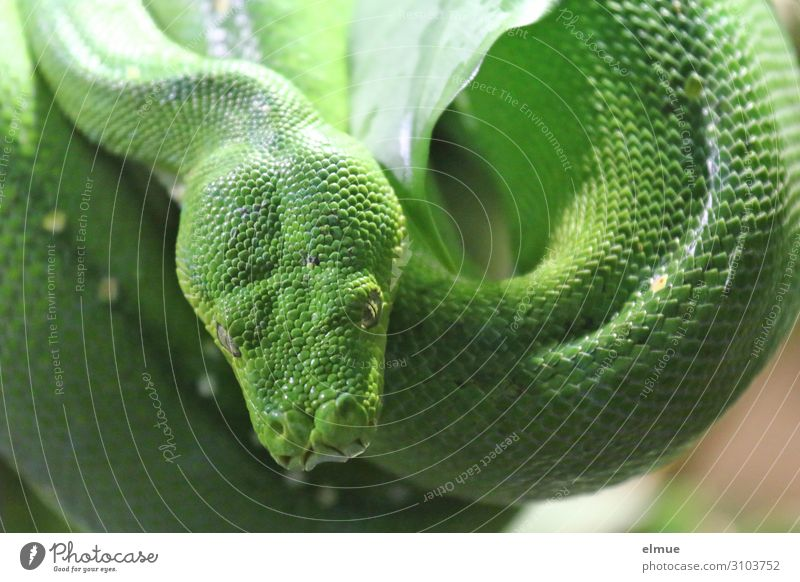 Green tree python Snake Green Tree Python diamond python constrictor ambush hunter Scales Hang Wait Threat Creepy Long Astute Near Patient Calm Fear Respect