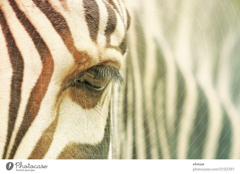 zebra Zebra Eyes Eyelash Pelt Zebra crossing Observe Looking Curiosity Trust Attentive Watchfulness Loneliness Esthetic Design Uniqueness Inspiration Contact