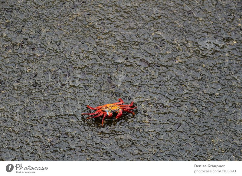 Red cliff crab on black rock Buffet Brunch Life Summer Beach Nature Wild animal 1 Animal Maritime Wet Natural claw red food Navy ocean sea seafood shellfish
