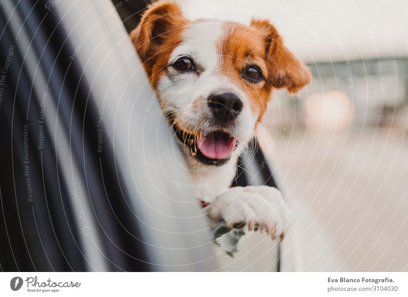 cute small jack russell dog in a car watching by the window. Ready to travel. Traveling with pets concept Head Funny Joy Drive Car Vacation & Travel Obedient