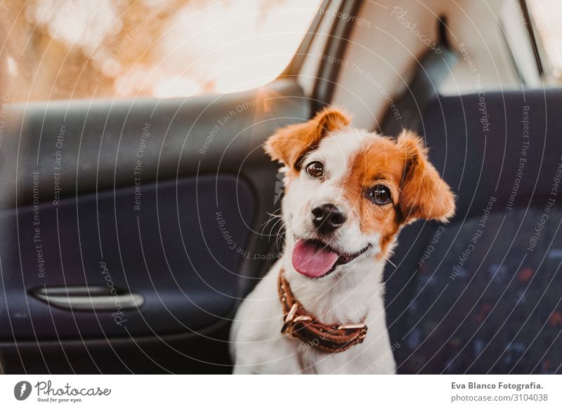 cute small jack russell dog in a car at sunset. Ready to travel. Traveling with pets concept Back light. Dog looking into camera Head Funny Drive