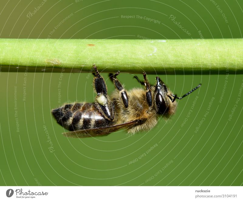 Bee, pollen ash, apis, mellifera Pet Green pollenhoeze Honey bee Insect dusting Pollen Stamen Nectar nectar collector source of fodder pollination macro shot