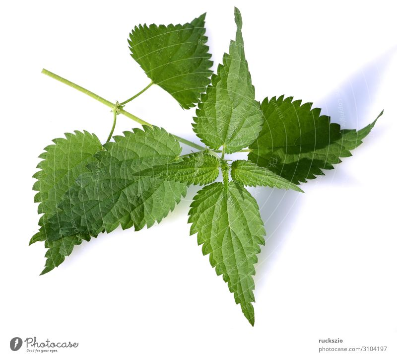 Nice, Urtica, dioica. Plant Wild plant Large Stinging nettle Weed wild vegetables Nettle leaf forage plant Medicinal plant field flora wild flora