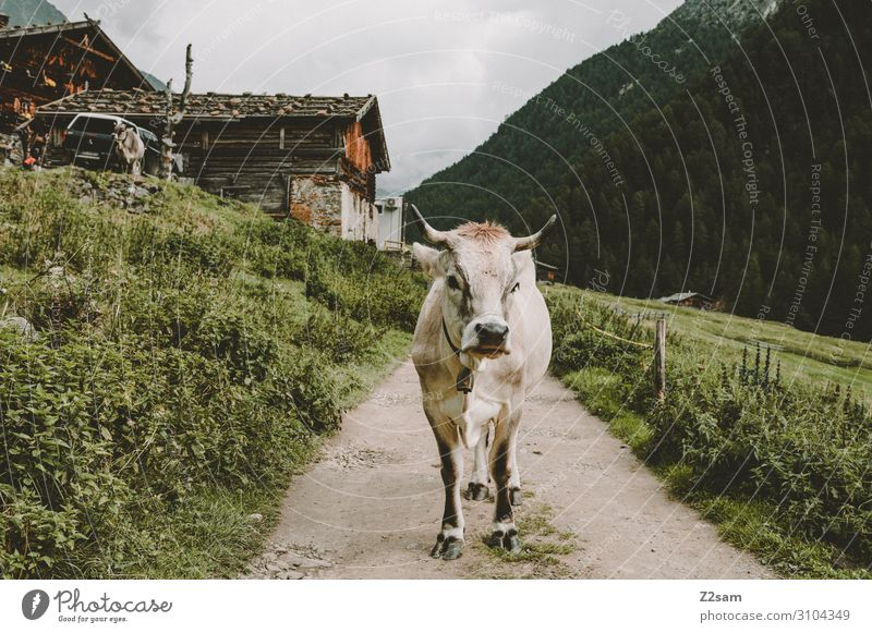 Cow on the Merano High Trail Nature Landscape Clouds Summer Bad weather Forest Alps Mountain Hut Lanes & trails Stand Healthy Sustainability Natural Curiosity