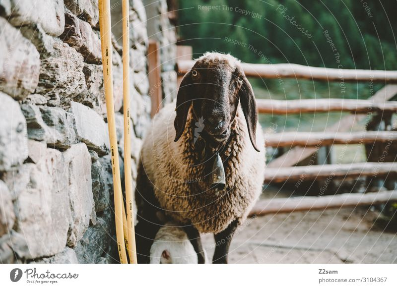 Sheep on the mountain pasture Nature Landscape Autumn Bushes Alps Mountain Farm animal 1 Animal Observe Looking Funny Sustainability Natural Love of animals