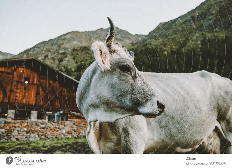 Cow in front of alpine hut Nature Landscape Alps Mountain Hut Alpine hut Looking Stand Happy Large Natural Curiosity Cute Love of animals Calm Relaxation