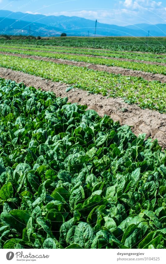 Spinach farm. Organic spinach leaves on the field. Vegetable Summer Gardening Nature Landscape Plant Leaf Growth Fresh Natural Green plantation Agriculture