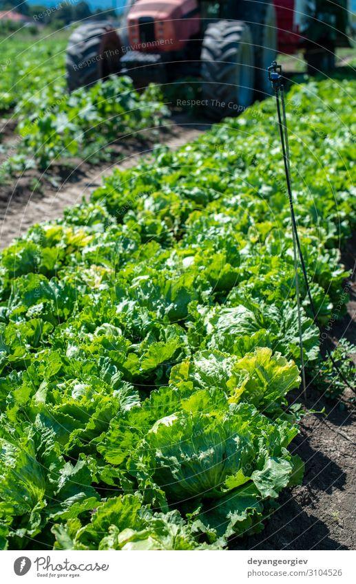 Tractor in lettuce iceberg farm. Harvest Lettuce iceberg Vegetable Vegetarian diet Diet Garden Gardening Environment Leaf Growth Fresh Wet Green Salad Iceberg