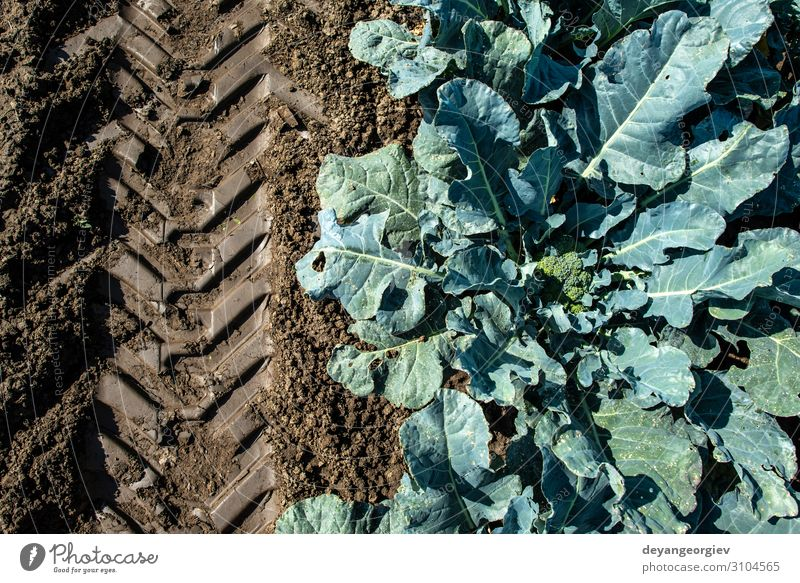 Close up broccoli in a farm. Big broccoli plantation. Vegetable Garden Gardening Environment Plant Leaf Growth Fresh Green Broccoli agriculture tracks trace