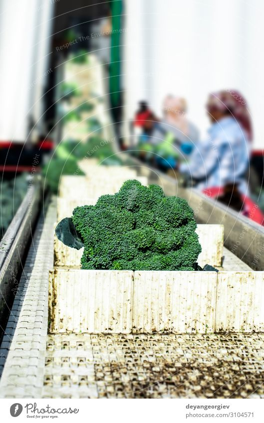Harvest broccoli in farm with tractor and conveyor. Vegetable Industry Business Technology Landscape Plant Tractor Packaging Line Green Broccoli automated