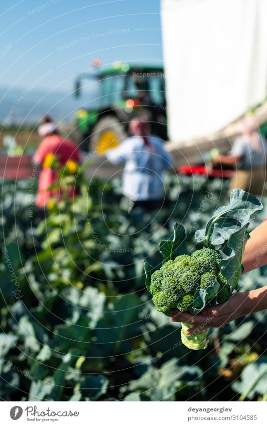 Workers shows broccoli on plantation. Picking broccoli. Vegetable Industry Business Technology Landscape Plant Tractor Packaging Line Green Broccoli Farmer
