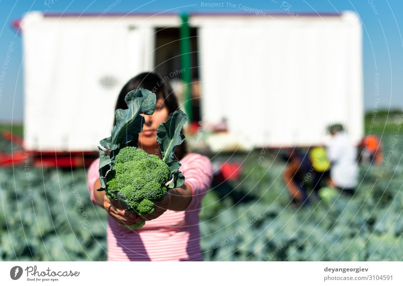 Worker shows broccoli on plantation. Picking broccoli. Vegetable Industry Business Technology Landscape Plant Tractor Packaging Line Green Broccoli Farmer