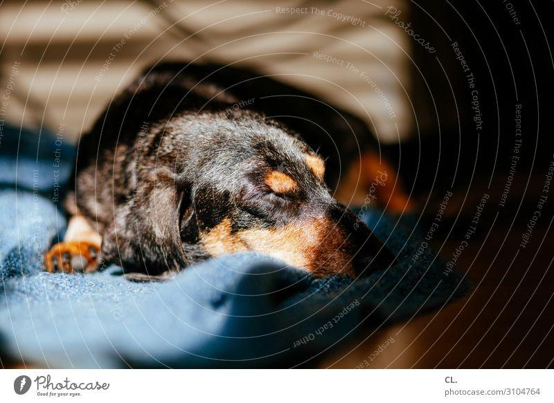 a dachshund enjoys the sun Living or residing Flat (apartment) Animal Pet Dog Animal face Pelt Paw Dachshund 1 Blanket Lie Sleep Cute Love of animals Calm