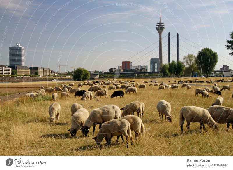 Grazing sheep in Düsseldorf Agriculture Forestry Climate change Park Meadow Duesseldorf Downtown Outskirts Farm animal Flock Sheep Herd Brown Yellow Warmth