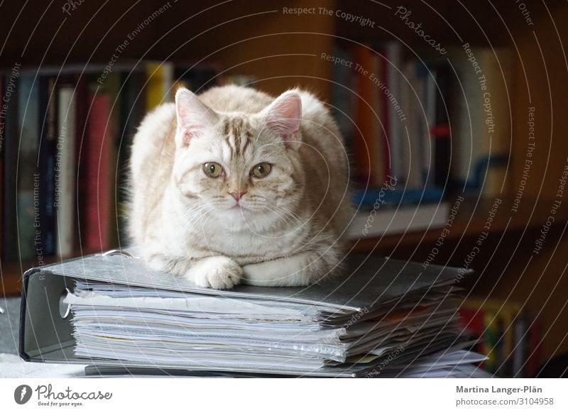 Home office with cat Pet Cat 1 Animal File Lie Cool (slang) Cute Self-confident Colour photo Subdued colour Interior shot Day Light Shallow depth of field